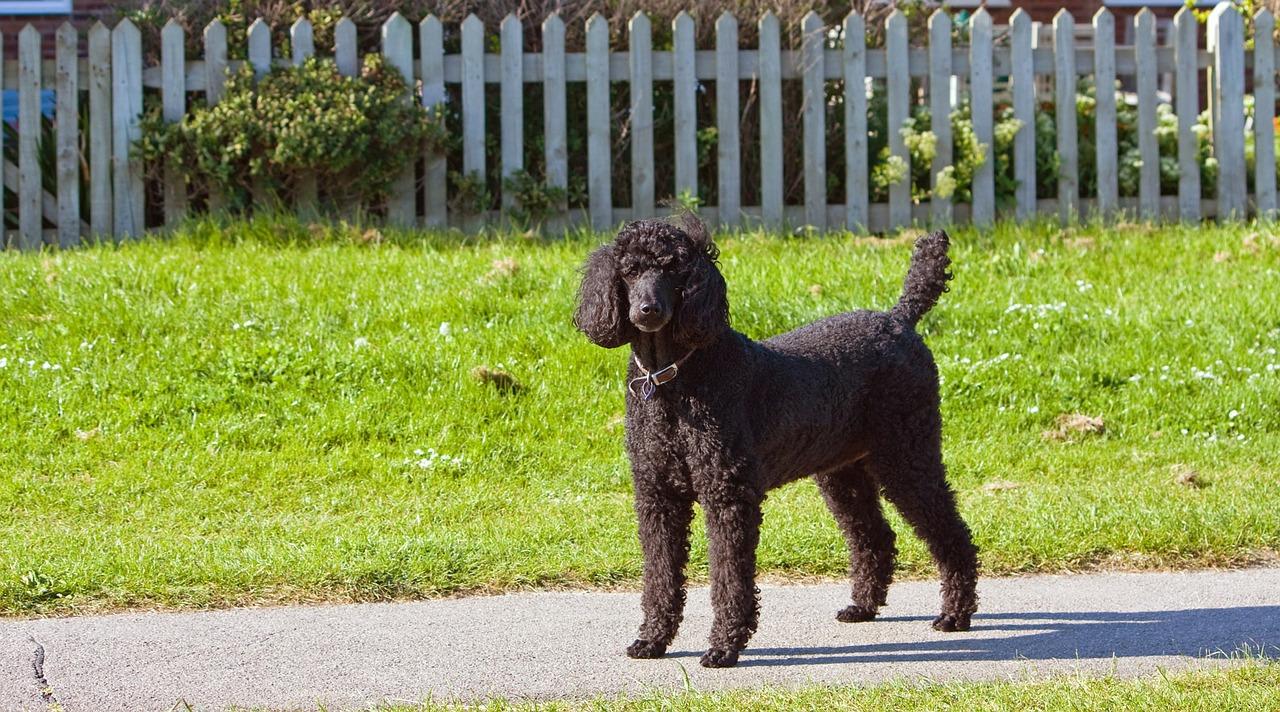 standard-poodle-163963_1280